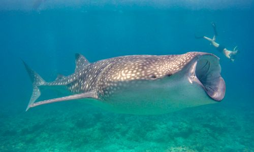 Swimming with Whale sharks near Dhigurah