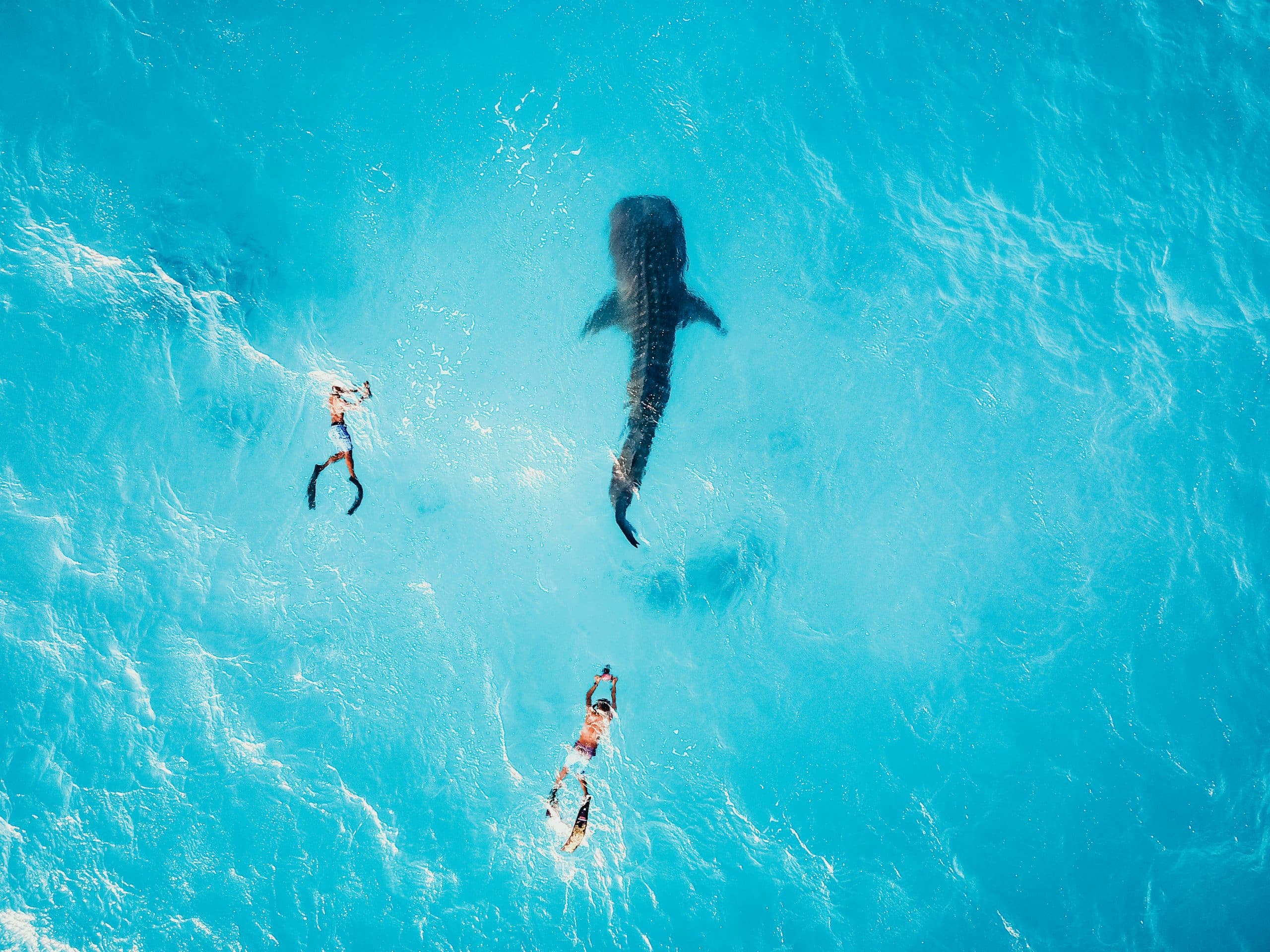 Drone shot of two snorkelers following a whale shark