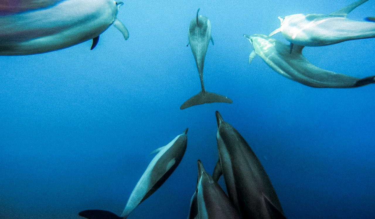 Pod of dolphins in the water during an excursion with Bliss Dhigurah