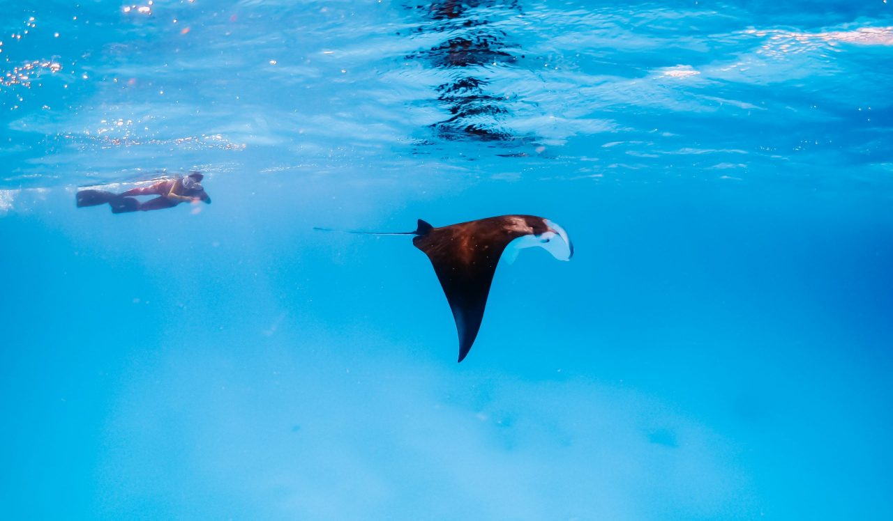 Guest following a manta ray during a snorkeling trip excursion in the Maldives - Bliss Dhigurah